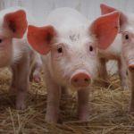 Od početka godine Srbija dozvolila uvoz 133.000 svinja