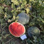 Ortačko gajenje lubenica u Donjoj Trepči kod Čačka
