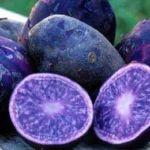 Lekovit ljubičasti krompir i u Srbiji