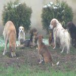 Čopor pasa lutalica na milanovačkom trgu