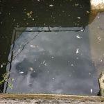 Pomor ribe u kanalu Parmenac – Katrga