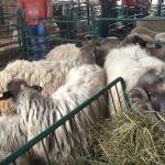 """Fondacija """"Ana i Vlade Divac"""" donirala umatičenu jagnjad poljoprivrednicima u Požegi"""