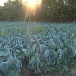Dobra godina za proizvođače kupusa u baštama kraj Morave