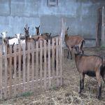 Uroševići iz Donje Trepče na tržište plasiraju delikatese od kozjeg mleka