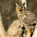 """Društvo ljubitelja ptica ,,Sove na oprezu"""" započelo popis sova utina na teritoriji Čačka"""