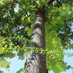 Sto novih stabala na levoj obali Zapadne Morave u Čačku