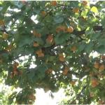 Rod kajsije u miokovačkim voćnjacima prepolovio grad