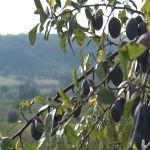 Ove godine rekordan rod šljive u Srbiji