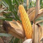 Dani kukuruza u Ostri: Očekivani prinos i do deset tona po hektaru