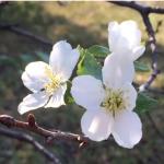 U domaćinstvu Bojovića procvetala višnja usred Septembra