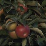 Rod jabuke u čačanskom kraju odličan, problem cena i plasman