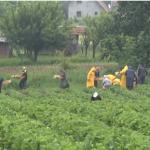 Česte kiše nepovoljno utiču na berbu i rod jagode