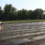 Zbog promenljivog vremena sadnja paprike znatno kasni