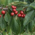 Izostao otkup srpske trešnje za rusko tržište