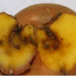 Najkritičniji period za pojavu krompirovog moljca