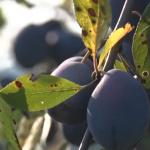 Pokrenuta inicijativa vraćanja stare sorte šljiva u voćnjake Zapadne Srbije