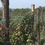 Zaštita maline neophodna i posle berbe, savetuju agronomi