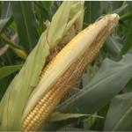 Stručnjaci najavljuju bogat rod kukuruza uprkos visokim temperaturama
