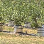 U Srbiji dve hiljade hektara pod zasadom borovnice