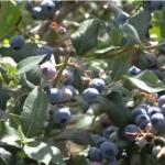 Gornjomilanovački kraj odličan za uzgajanje borovnice